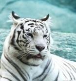 Талисманы фэн-шуй: Белый тигр