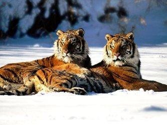 Тигр в китайской мифологии и фэн-шуй!