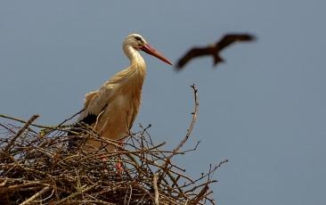 птица падающая в гнездо фэн-шуй
